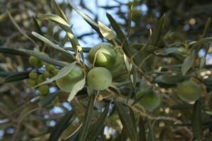 algarve-olive-grove